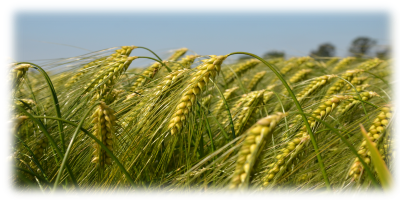 Manners & Customs: Growing and harvesting grain | AHRC